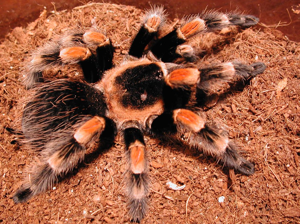 Mexican Red Knee Tarantula | Scott Kinmartin | Flickr on map where do tarantula, how long do tarantulas live, map of where camels are from, where do tarantulas live, map where do lizards live on a glass, map of brown recluse spiders in the us, map of arkansas, were tarantula live, map where do praying mantis live, map of mississippi natural resources, maps of where the brown widows live, map of tarantulas in us, map of tarantula hawk wasp,