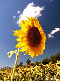 The Leader of the Sunflowers   by www.ubikwit.net