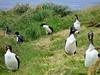 Auckland Island Shags (Phalacrocorax colensoi) by twiddleblat