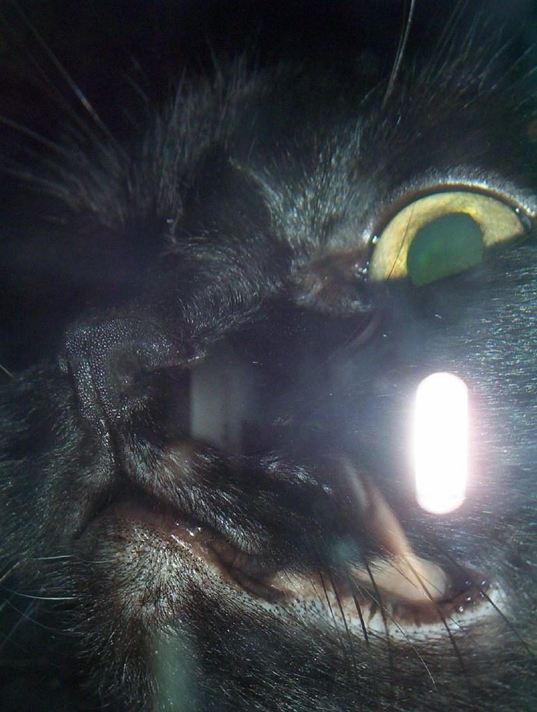 Cat - Chat - Gato
