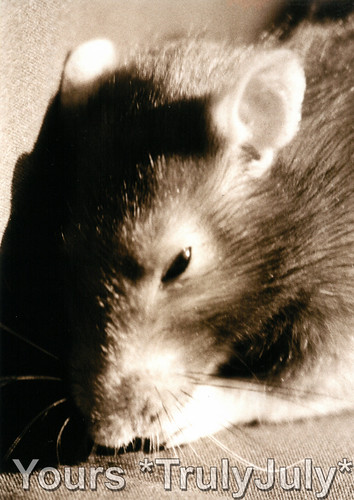 #PortRATure: My first pet rat Fitty.
