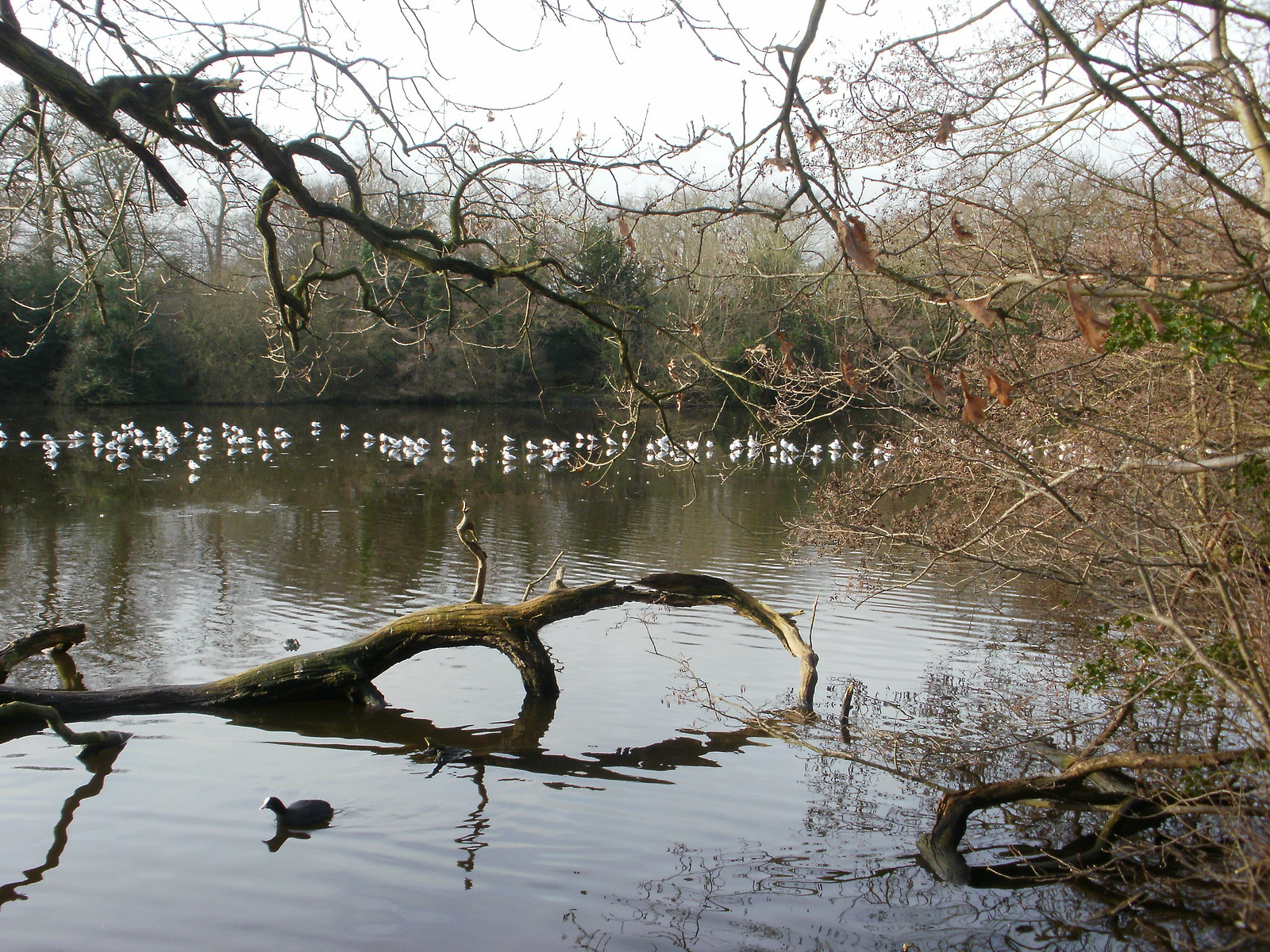 Epping Forest pond trees OLYMPUS DIGITAL CAMERA