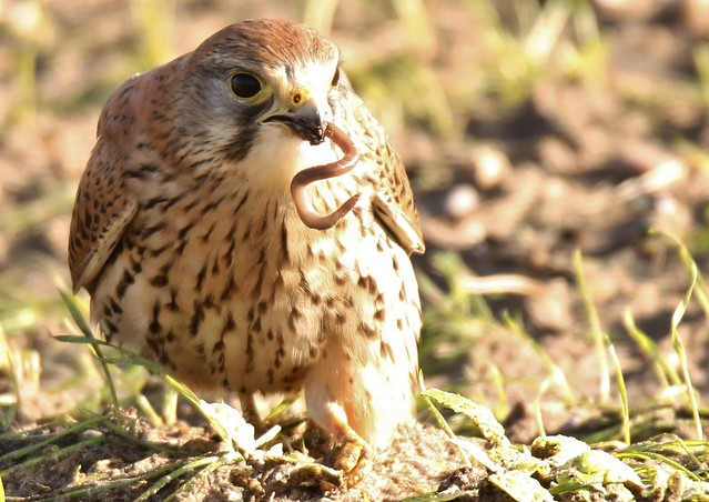 Kestrel in sunlight