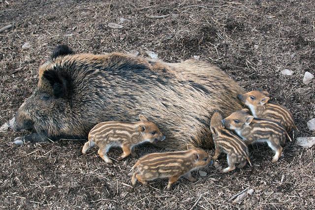 Wildschwein mit ihren Frischlingen