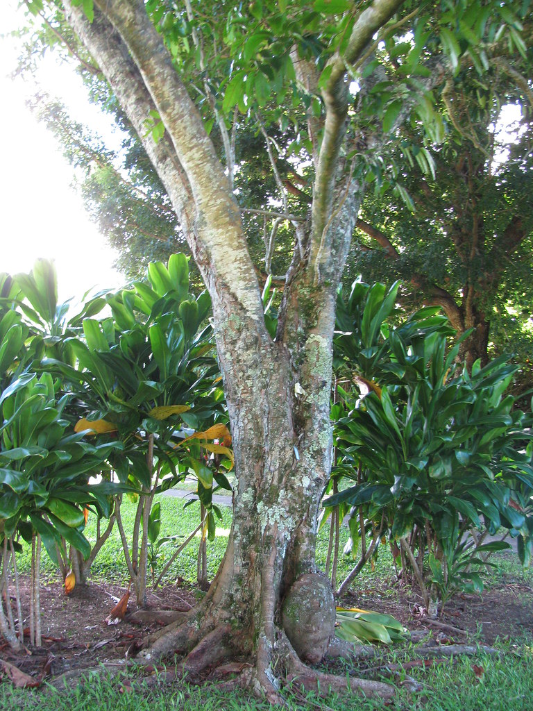 starr-091104-0929-Carapa_guianensis-trunk_and_bark-Kahanu_Gardens_NTBG_Kaeleku_Hana-Maui