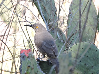 Toxostoma curvirostre/cuitlacoche pico curvo/Curve-billed Thrasher. | by Manuel Becerril González