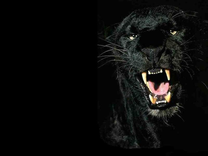 Schwarzer Panther - Cat Scanner