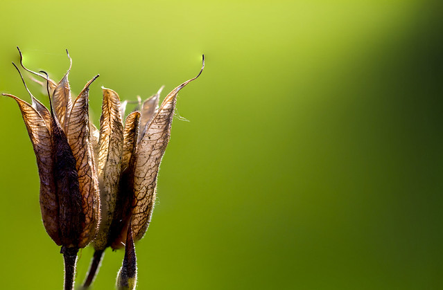 Aquilegia (Columbine) seed pods breaking through at the end of summer