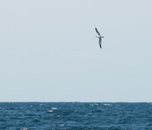 Black-capped Petrel (Pterodroma hasitata) ManteoNCPelagics-436e   by Dave Krueper
