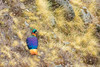 Himalayan Monal by Rudy_Whistlingtrails