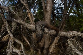 Cunningham's Skink | by J.P. Lawrence Photography
