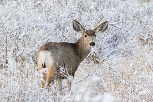 A handsome young Mule Deer buck | by TonysTakes