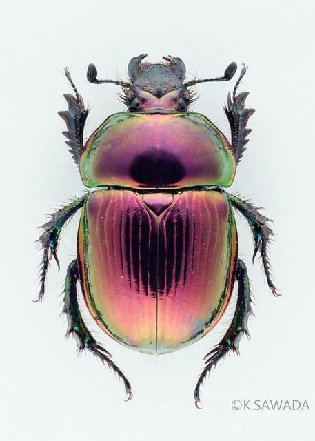 オオセンチコガネ名義タイプ亜種 Phelotrupes(Chromogeotrupes) auratus auratus (Motschulsky,1857) 富山県産-6