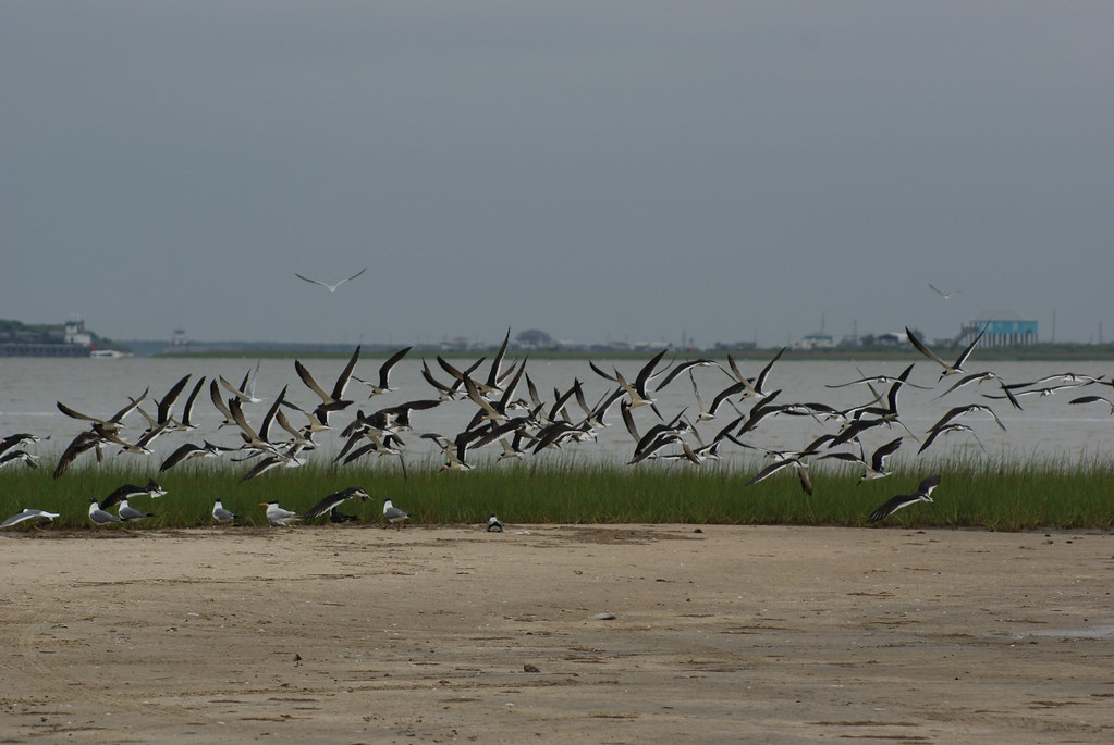Many Terns and Skimmers High Island TX