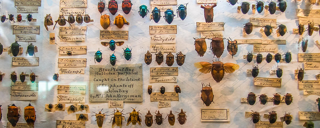 pinned bugs from Victorian era; the specimens are large and of odd shapes, indicating they are tropical species