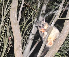 Success.... our resident possum is getting used to us - tonight she/he took a carrot from hubbys hand... missed a pic, but will try to video next time...so gorgeous!! #possum  #brushtailpossum  #australianwildlife  #australianpossum  #Ballarat #wildlife #