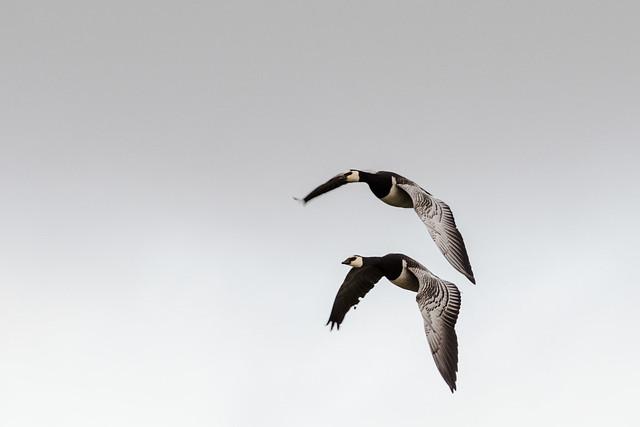 Barnacle Goose (Branta leucopsis) 01