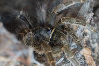 0.1 Eucratoscelus pachypus | by mygale.de