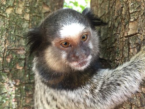 Série com o Sagui-de-tufos-pretos (Callithrix penicillata) - Series with the Black-ear-tufted-marmoset - 16-02-2016 - IMG_0728