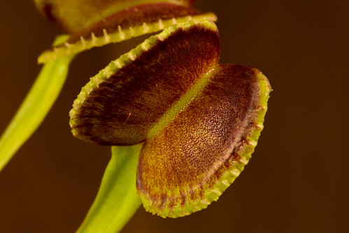 Dionaea seed grown 003 | by Taudan Plants