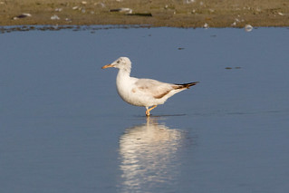 Slender-billed Gull at Taqah S24A7000 | by grebberg
