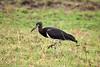 Abdim's Stork (Ciconia abdimii) by Sergey Pisarevskiy