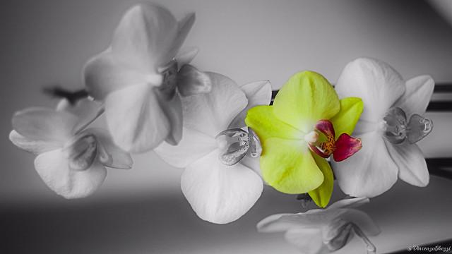 Blaze of phalaenopsis aphrodite