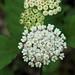 White Milkweed by Matt Buckingham