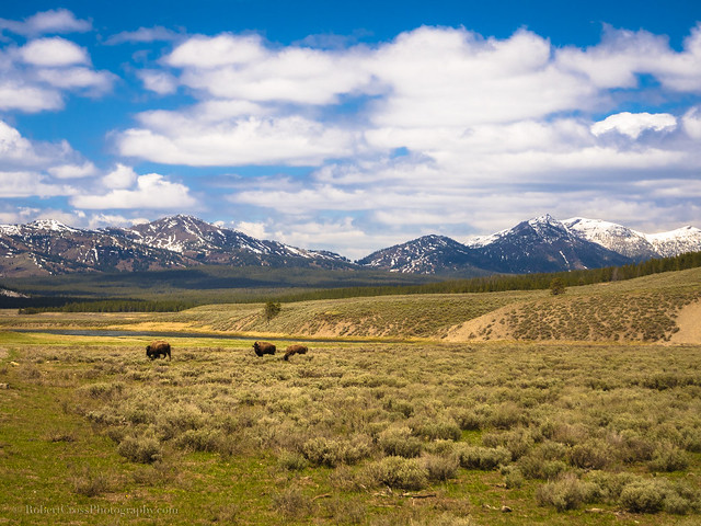 Yellowstone Bison Spring Landscape