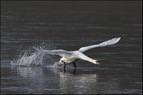 Mute Swan Cygnus olor 7D2_5344 | by psmithuk