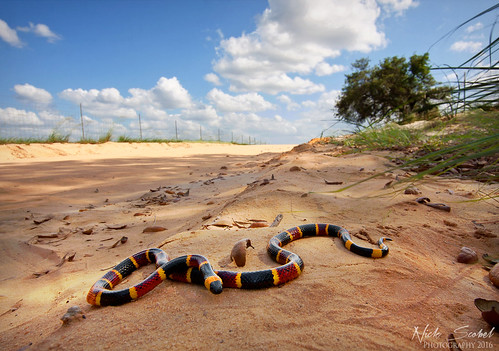 Eastern Coral Snake | by Nick Scobel