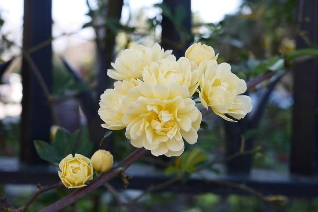 火, 2016-03-22 10:12 - Banksia Rose モッコウバラ