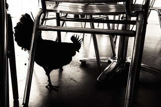 The Scary Black Chicken | by cogdogblog