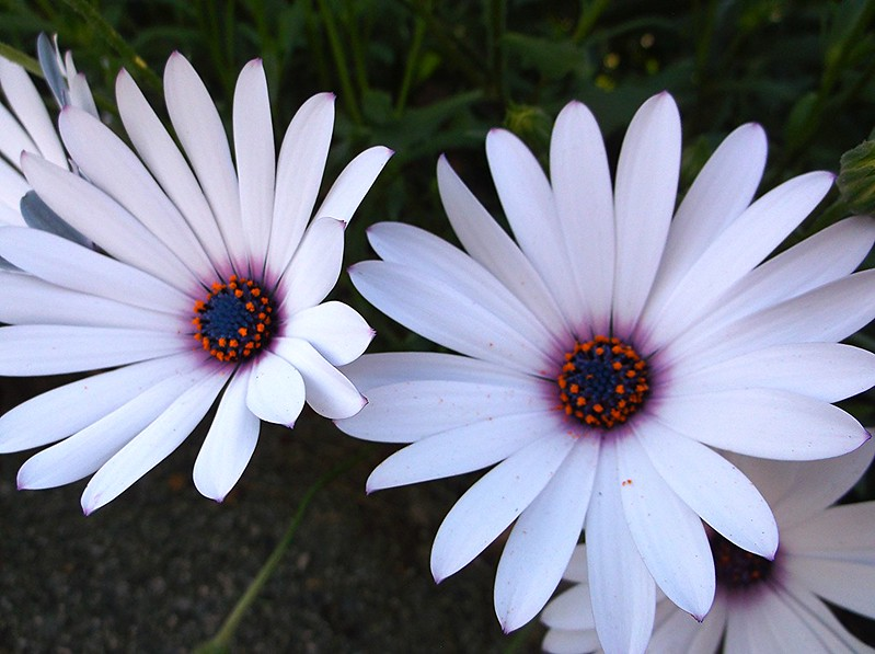 African daisies, white