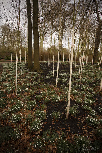 wood uk greatbritain trees england plant flower tree woodland garden spring woods place cheshire unitedkingdom wideangle snowdrops birch trafford nationaltrust hardwood dunhammassey galanthus silverbirch altrincham wop amaryllidaceae shawnwhite canon6d