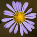 Smooth Blue Aster - Photo (c) Joshua Mayer, some rights reserved (CC BY-SA)