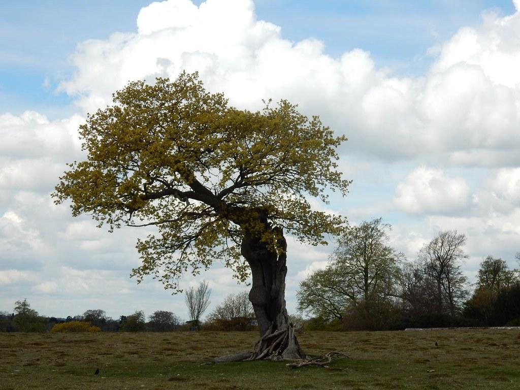 Gnarled tree (Very Bewick ) Knole Park, Sevenoaks to Westerham