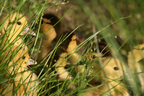 texas wildlife duckling scenic ducks 600mm newcaney prescottesmall