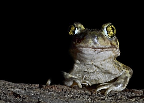 Couch's Spadefoot Toad | by Alex Roukis