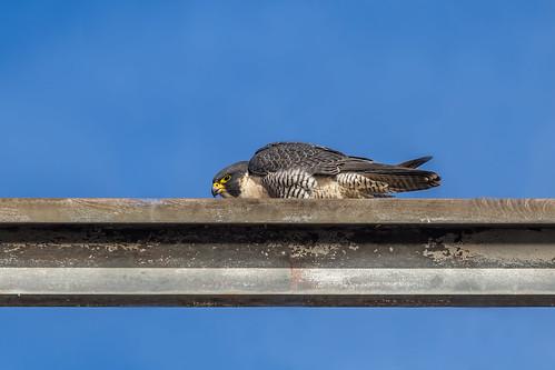 ca ontario canada nature birds canal wildlife hamilton falcon tamron peregrinefalcon canon6d 150600mm img9977e