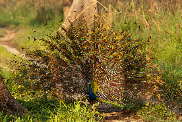 Peacock dance (front view)