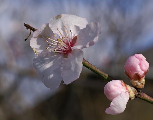 Mandel-Pfirsich / almond peach (Prunus × amygdalopersica 'Pollardii' )