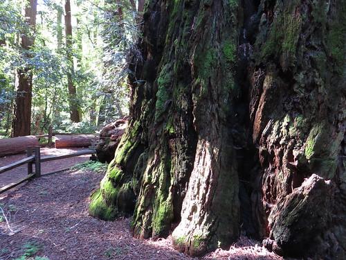 Redwood Grove, Henry Cowell Redwoods State Park, Felton, California