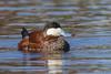 Ruddy Duck - Érismature rousse by shimmeringenergy