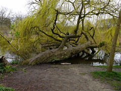 2016.04 - Amsterdam, photo of a Sleeping Weeping Willow tree in the park Vondelpark, early Spring; urban nature - geotagged free urban picture, in public domain / Commons; Dutch photography, Fons Heijnsbroek, The Netherlands