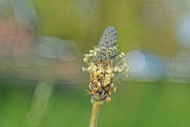 Narrow Plantain (Plantago lanceolata)
