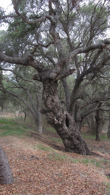 IMG_8093 Goleta Dos Pueblos glen annie area oak tree