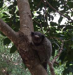 Série com o Sagui-de-tufos-pretos (Callithrix penicillata) - Series with the Black-ear-tufted-marmoset - 15-02-2016 - IMG_0564