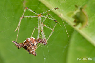 Comb-footed spider (Meotipa sp.) - DSC_4412