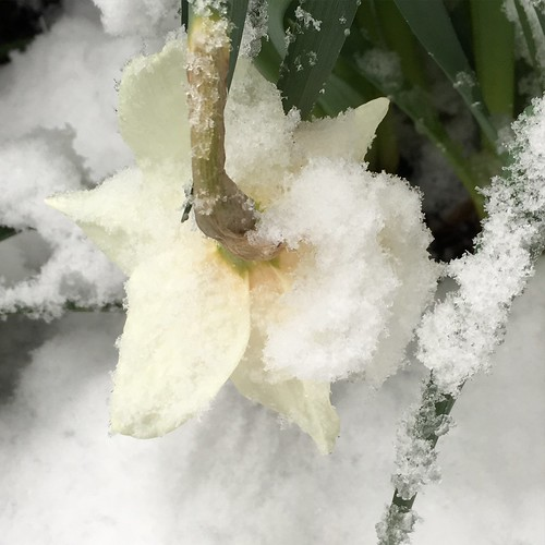 Some years it's hard to be a daffodil. #flowers #snow #100happydays | by cce_photography